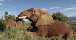 elephant without tusks