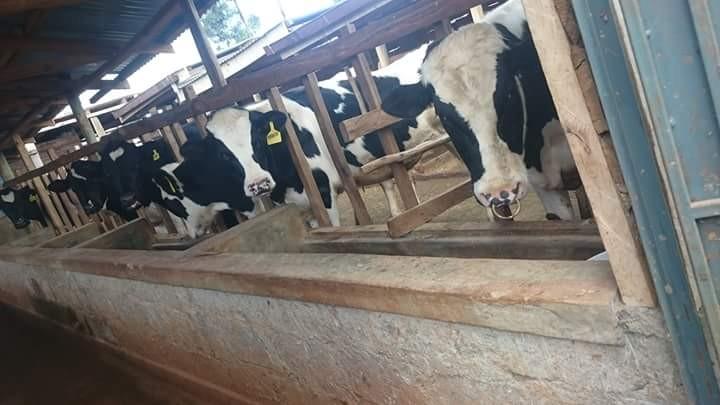 Biko kithinji Green Dairy farm 2
